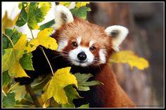 Wallpaper Beautiful Red Panda - 1200 x 800 - Animals Pets Puppies ...