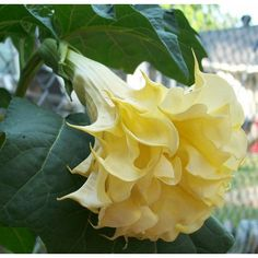 Flower Seeds - Plant World Seeds Exotic Plants, Exotic Flowers, Tropical Flowers, Yellow Flowers, Beautiful Flowers, Angel Trumpet Plant, Vegetable Seeds Online, Cottage Garden Plants, Moon Garden