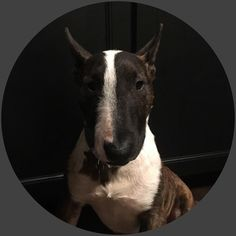 """Follow: @rodrigo_bully - """"Mini bull terrier rescued from spanish perrera (Gesser-Cádiz) - THIS IS MY STORY. FROM THE KENNEL TO MY NEW FAMILY - follow my new HAPPY LIFE"""" . . #BullTerrier #BullTerriers #BullTerrierLove #BullTerriersOfInstagram #ILoveMyBullTerrier 