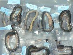 how to catch lamprey eels