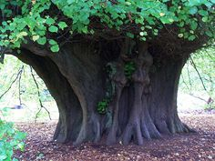 The Great Holker Lime Tree ~ Cumbria, England.......Thus called because it is on the Holker Estate owned my Lord and Lady Cavendish