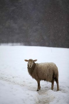 A Yearling Ewe in the snow. From Getting Stitched on the Farm: March Snow and a New Lamb Sheep Farm, Sheep And Lamb, Getter, It's Snowing, Winter Love, Counting Sheep, Goat Farming, Alpacas, Lambs