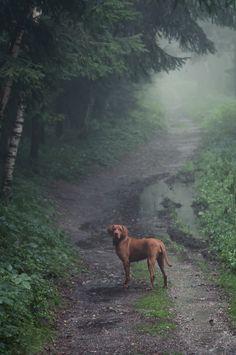 Vizsla in the fog