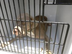 07/07/07- stray = 3 day hold = EXTREMELY URGENT- FACILITY IS FULL - HOUSTON -This DOG - ID#A487808  I have a possible adopter.  I am a female, gray and white Mastiff.  The shelter staff think I am about 3 years old.  I have been at the shelter since Jul 06, 2017.  This information was refreshed 2 hours ago and may not represent all of the animals at the Harris County Public Health and Environmental Services.