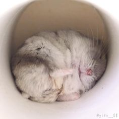 Cute Funny Animals, Cute Baby Animals, Animals And Pets, Cute Cats, Hamster Life, Baby Hamster, Cute Hamsters, Chinchillas, Syrian Hamster