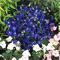 Delphinium - Summer Nights Growth 12 inches heigh and wide. Full sun to part shade. Zones 3-7.