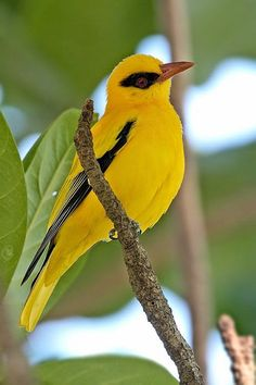 The African Golden Oriole (Oriolus auratus) ~ South of the Sahara..