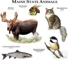 Full color illustration of state animals of Maine Maine Tattoo, Maine New England, Visit Maine, State Birds, Animal Posters, Maine Coon Cats, Cat Furniture, Animals Of The World, Wildlife Art