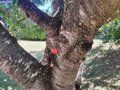 Nothing to see here, just a single red cherry growing on a tree...