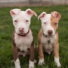 Life is better with a dog...or two! How many dogs do you have? #dogs #doglovers #pitbulls #puppies