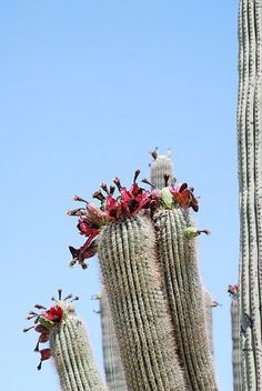 Saguaro National Park, USA - you need to see it once Desert Cactus, Desert Plants, Arizona Cactus, Cacti And Succulents, Planting Succulents, How To Grow Cactus, National Parks Usa, Cactus Flower, Cactus Blossoms