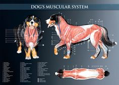 Dog's muscular system