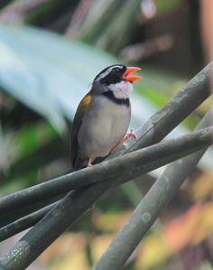 Arremon aurantiirostris / Pinzón piquidorado / Orange-billed Sparrow. Doradal, Antioquia, Colombia   Flickr - © Félix Uribe