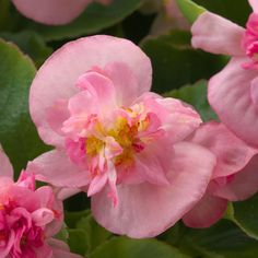 Begonia Fiona Pink is a semi-double type and presents strong, upright blooming flowers. Plants are self-cleaning and provide continuous color throughout the summer until the first frost. Summer Garden, Home And Garden, Cottage Gardens, Blooming Flowers, Begonia, Garden Plants, Frost, Beautiful Flowers, Garden Ideas