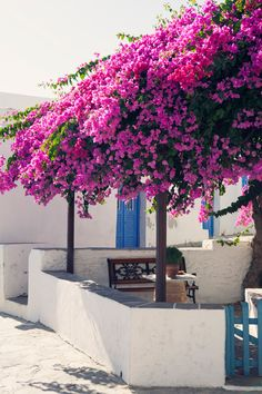 Now if that isn't the best bougainvillea I have ever seen!! Love Artemonas  - photo by Carla-Coulson