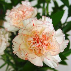 CLAVEL  Este tipo de flor es el clavel estriado.Tiene rosa ,rojo y blanco. También tiene una especie de agujas en el tallo