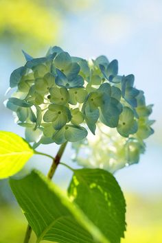 blue hydrangea. My grandma had these all in her yard. I can still smell them in my mind.