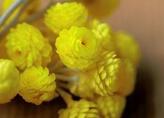 The Immortelle flower never wilts or withers...