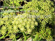 1000 images about les plantes de bord de mer on pinterest delosperma cooperi php and nature. Black Bedroom Furniture Sets. Home Design Ideas