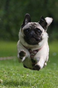 A jumping pug #ThanksgivingWithHills
