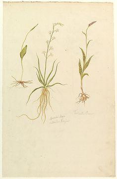 Botanical Studies (recto); Botanical Studies (verso)  Anonymous, French, 19th century     Date:      ca. 1820  Medium:      Watercolor over graphite