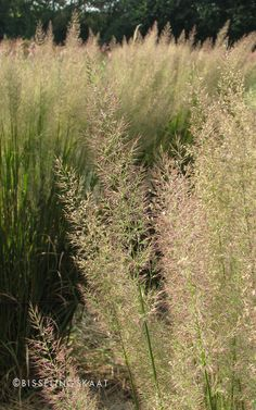 Calamagrostis brachytricha, diamond grass. One of the ornamental grasses grown for flower panicles on flower farm #Bisselingskaat. #Organically of course.