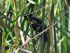 Bird Photos, Birding Sites, Bird Information: MALE RED-WINGED BLACKBIRD, PEPPER RANCH PRESERVE, ...