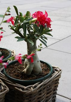 Wüstenblume, desert rose, Bonsai Optik, Foto Birgit Puck
