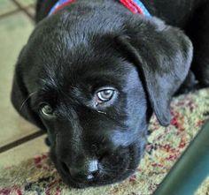 Moki the Labrador Retriever