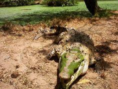 Una de las especies más representativas del llano y de Venezuela es el caimán del Orinoco. Este imponente reptil se encuentra exclusivamente en la cuenca del padre río.  Con una talla de hasta 7 metros de longitud en su reporte máximo este cocodrilo es el más grande del neotrópico. Las hembras que suelen ser un poco más pequeñas ponen sus huevos en las playas de arena a orillas de los ríos entre los meses de enero y marzo. Una vez que las crías ...