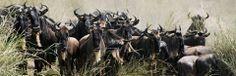 2014 Great Migration Prediction Update   Safari 365 East Africa, Tanzania, Safari, African, Horses, Horse