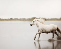 White Horse Photography Camargue Horse by EyePoetryPhotography