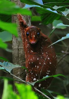 Colugo (Cynocephalus variegatus) Colugos are mammals from an ancient lineage, with just two species comprising the Order Dermoptera. Confusingly they are also called 'Flying Lemurs', though they are not closely related to the Lemurs of Madagascar. They can glide long distances, however, as they possess a thin membrane stretched to the ends of the tail and each limb.Generally they are mottled grey or green-grey in colour, with dark banding, but some are reddish...