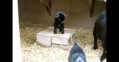 Baby Pygmy Goat Doing The Happy Dance May Be The Greatest Thing Ever | The Animal Rescue Site Blog