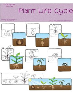 Ag in the Classroom: Plant Life Cycle Freebie
