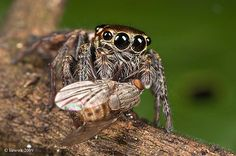 4.19 Jumping Spider … in prey … by Weng Keong Liew       Crucial Moments of the Wild Life
