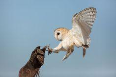 Tyto alba - Cetrería - 01 - Falconry - Wikipedia, the free encyclopedia Tyto Alba, Owl Box, American Barn, Funny Owls, Owl Photos, Cute Owl, Birds Of Prey, Predator, Beautiful Birds