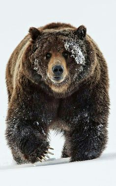 Big Beautiful Grizzly Bear!