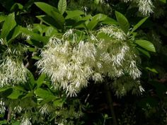 Pygmy Fringetree (Chionanthus pygmaea) is native to central Florida and is considered an endangered plant. It produces nice flowers and grows to only eight feet tall.