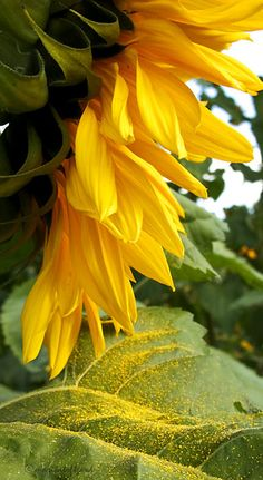 Summer....so love sunflowers....