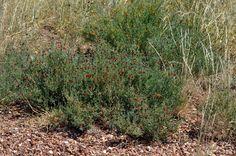 Enchylaena tomentosa Ruby Saltbush