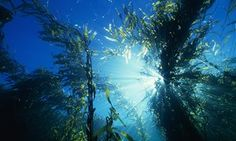 Giant kelp forests