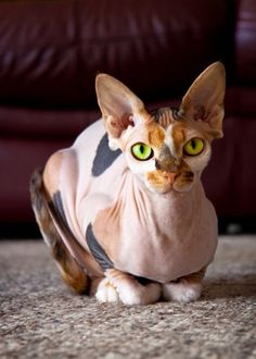 Say hello to a calico sphinx cat - Super Cute!