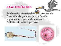 Resultado de imagen para gametogenesis definicion biologia