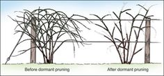 Pruning Raspberries, Blackberries, Gooseberries, Currants and Elderberries (University of Missouri Extension)
