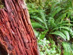 cedar and fern