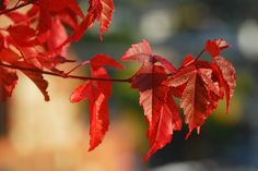 Amur maple tree (Acer Ginnala) ...ahhh I love the amur maples...some of the only red color calgary sees in fall