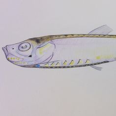 Coloured drawing of a fish