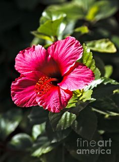 Red Hibiscus:  See more images at http://robert-bales.artistwebsites.com/