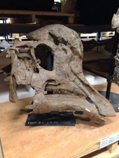 Skull of a subadult Corythosaurus from the Dinosaur Park Formation in collections //Twitter / ROMPalaeo: #FossilFriday from @Royal Tyrrell Museum: ...